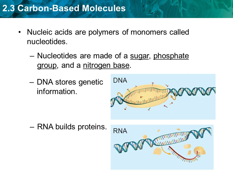 2.3 Carbon-Based Molecules –DNA stores genetic information. Nucleic acids are polymers of monomers called nucleotides. –Nucleotides are made of a suga