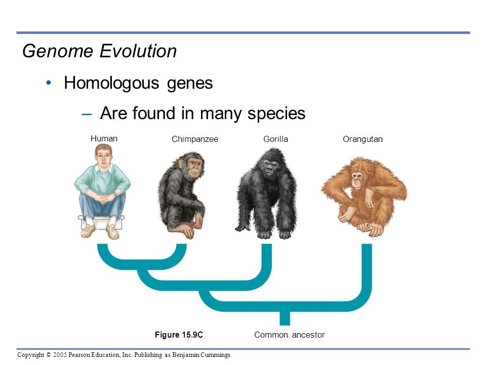Copyright © 2005 Pearson Education, Inc. Publishing as Benjamin Cummings Genome Evolution Homologous genes –Are found in many species Human Chimpanzee
