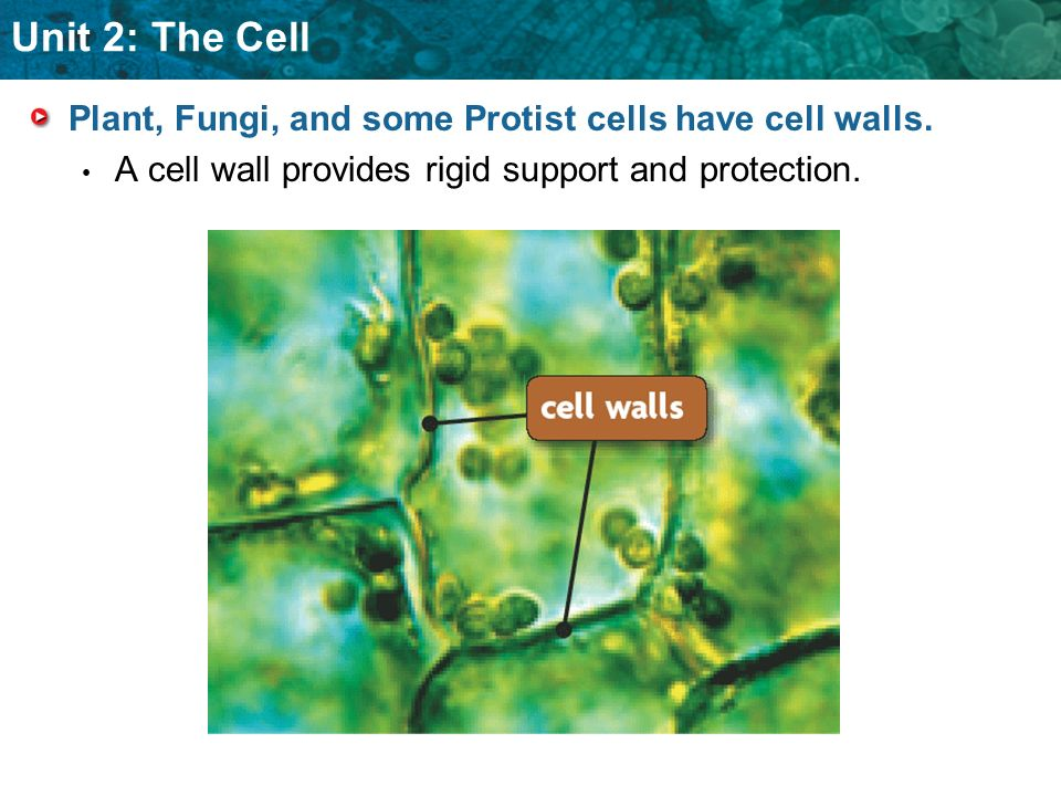 Unit 2: The Cell Plant, Fungi, and some Protist cells have cell walls. A cell wall provides rigid support and protection.