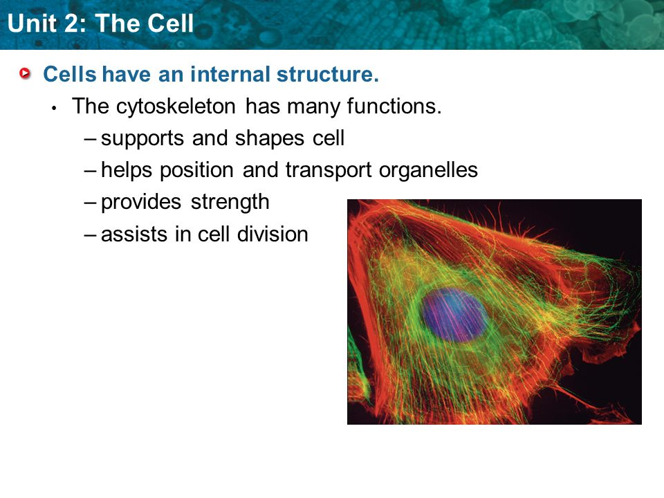 Unit 2: The Cell Cells have an internal structure. The cytoskeleton has many functions. – –supports and shapes cell – –helps position and transport or