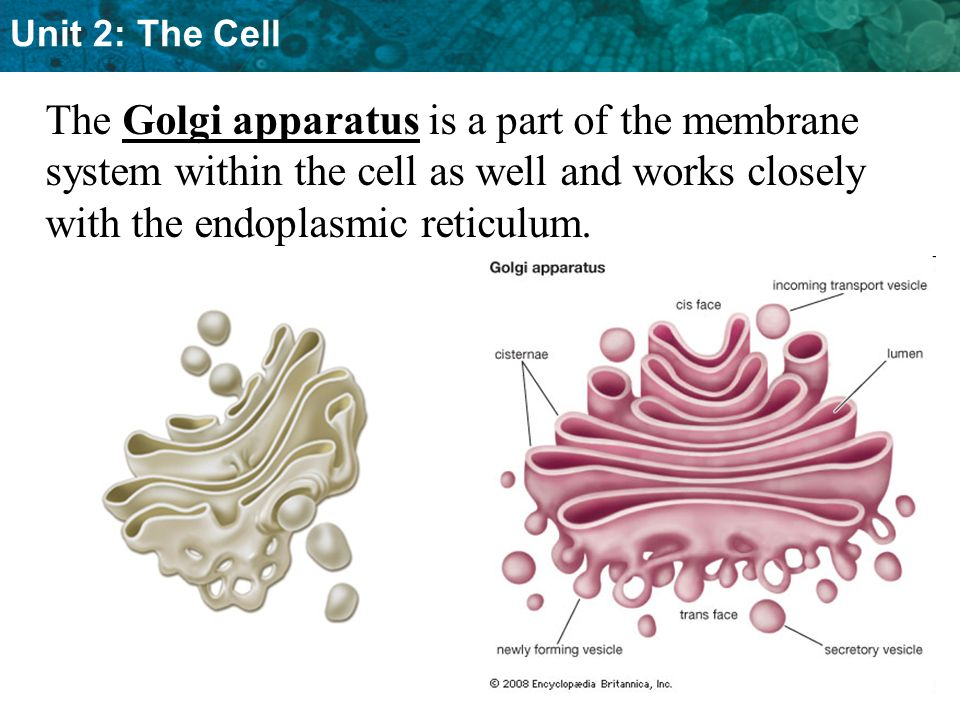 Unit 2: The Cell The Golgi apparatus is a part of the membrane system within the cell as well and works closely with the endoplasmic reticulum.