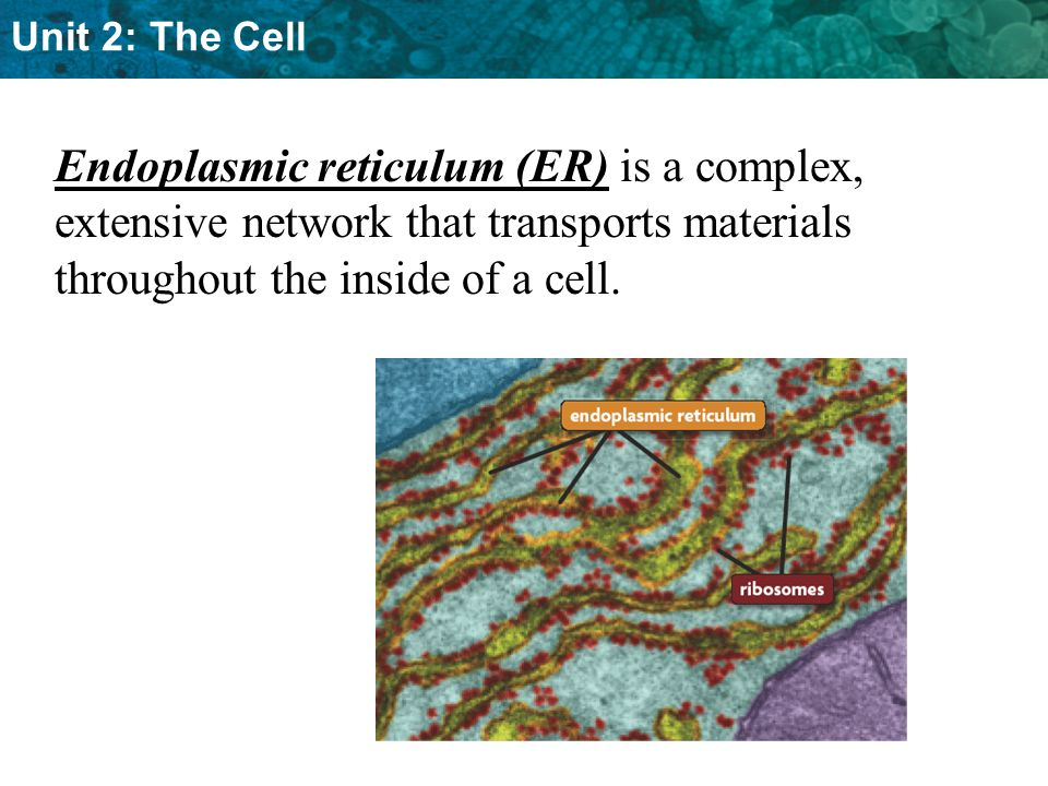 Unit 2: The Cell Endoplasmic reticulum (ER) is a complex, extensive network that transports materials throughout the inside of a cell.