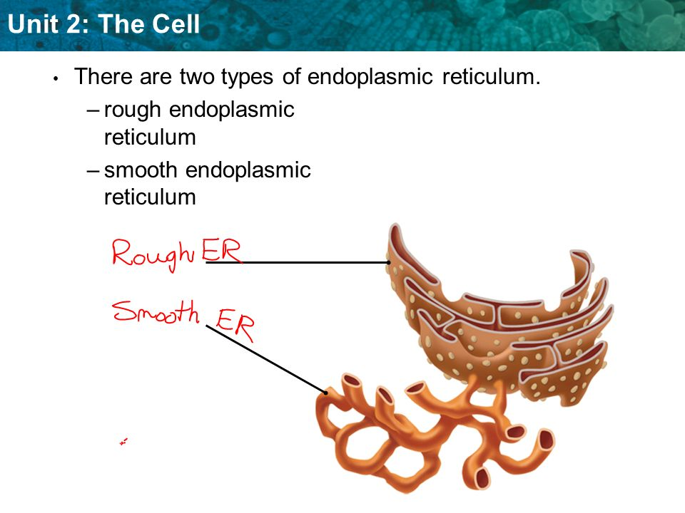 Unit 2: The Cell Ribosomes are the sites of protein synthesis.