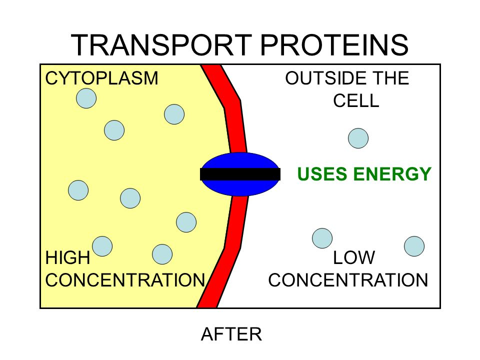 TRANSPORT PROTEINS AFTER USES ENERGY CYTOPLASMOUTSIDE THE CELL HIGHLOW CONCENTRATION