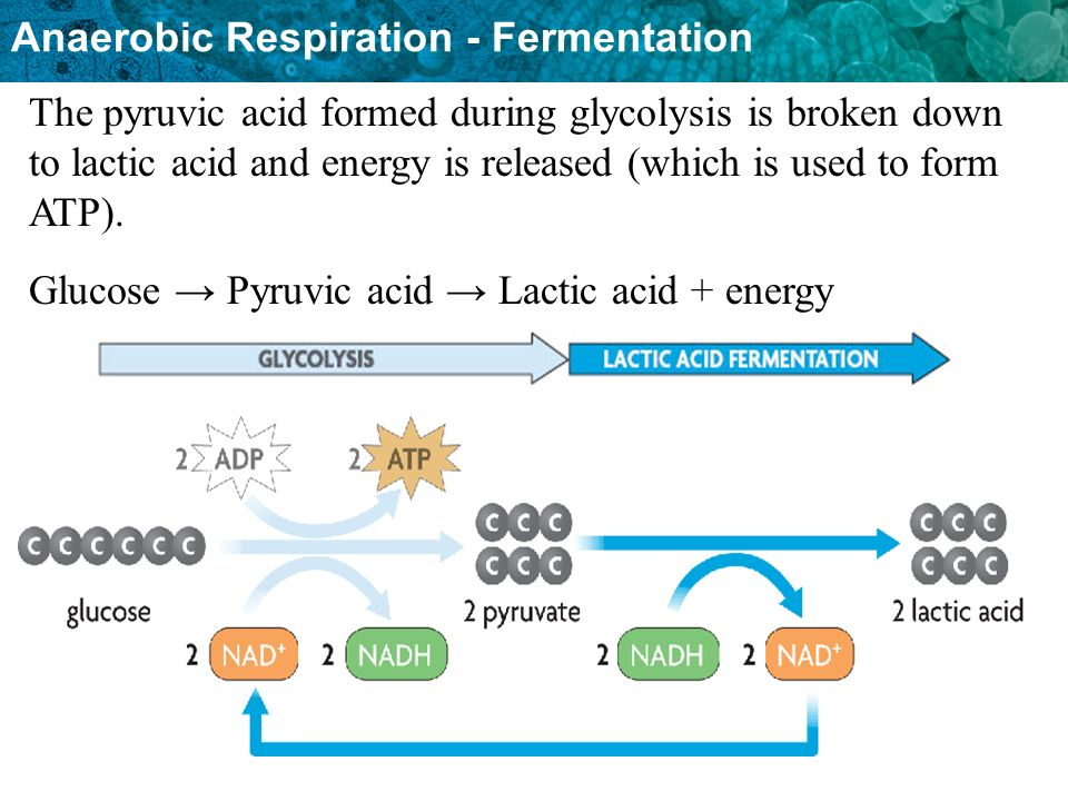 Anaerobic Respiration - Fermentation The pyruvic acid formed during glycolysis is broken down to lactic acid and energy is released (which is used to form ATP).