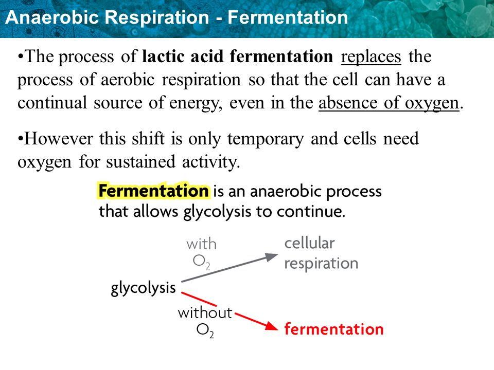 Anaerobic Respiration - Fermentation The process of lactic acid fermentation replaces the process of aerobic respiration so that the cell can have a continual source of energy, even in the absence of oxygen.