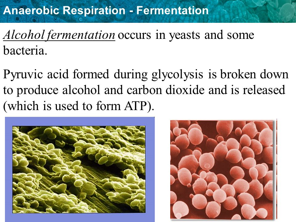 Anaerobic Respiration - Fermentation Alcohol fermentation occurs in yeasts and some bacteria.