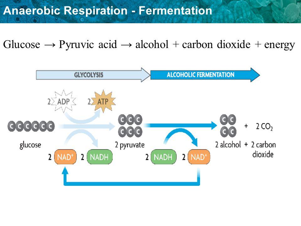 Anaerobic Respiration - Fermentation Glucose Pyruvic acid alcohol + carbon dioxide + energy