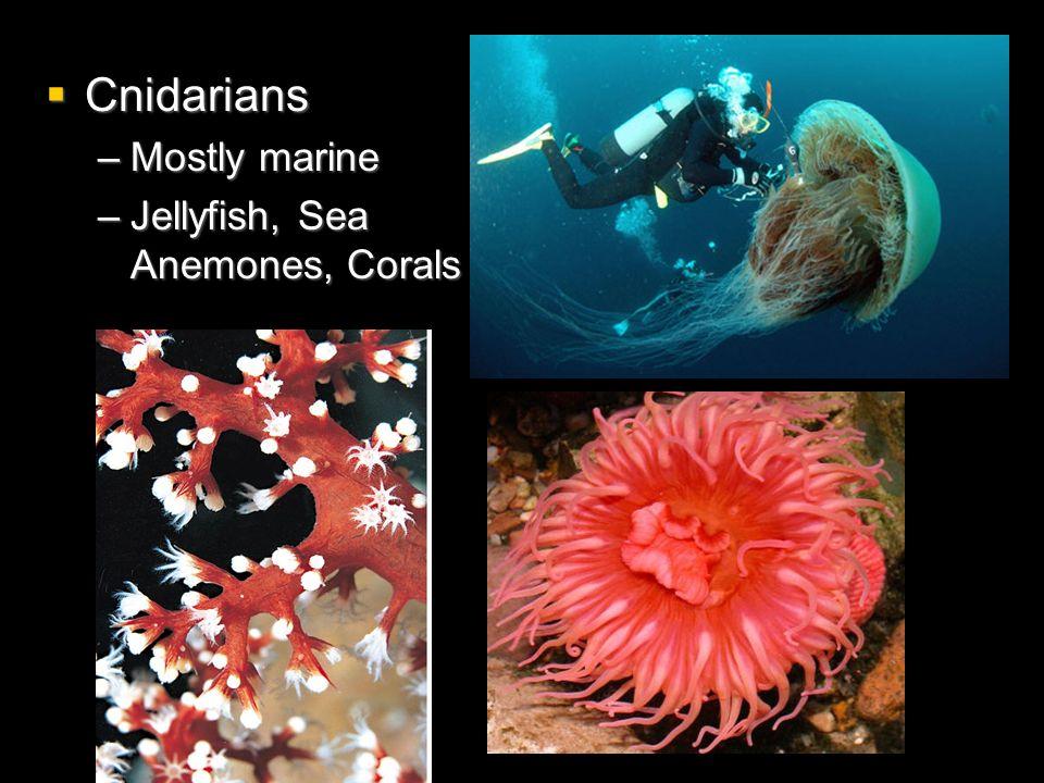 Cnidarians Cnidarians –Mostly marine –Jellyfish, Sea Anemones, Corals