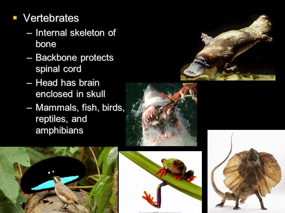 Vertebrates Vertebrates –Internal skeleton of bone –Backbone protects spinal cord –Head has brain enclosed in skull –Mammals, fish, birds, reptiles, a