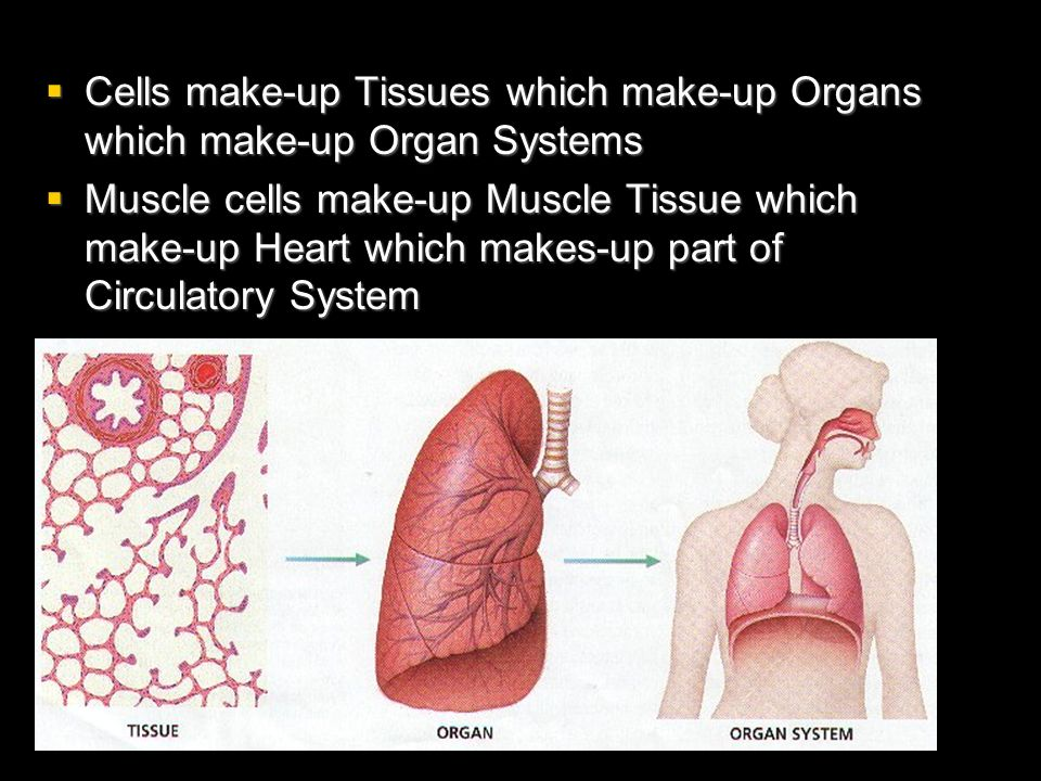 Cells make-up Tissues which make-up Organs which make-up Organ Systems Cells make-up Tissues which make-up Organs which make-up Organ Systems Muscle c