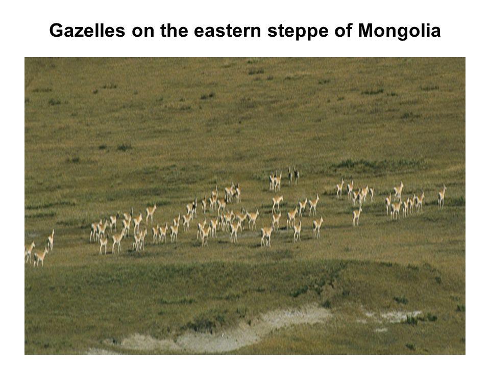 Gazelles on the eastern steppe of Mongolia