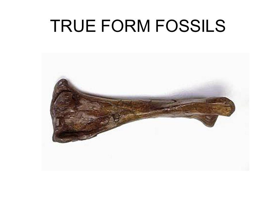 TRUE FORM FOSSILS
