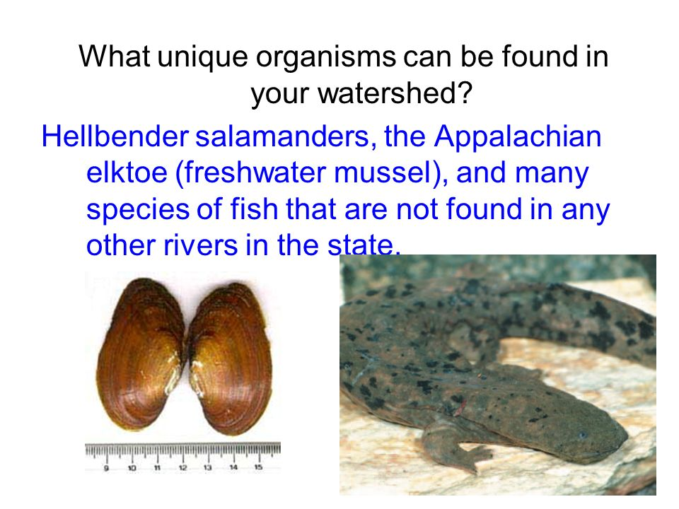 What unique organisms can be found in your watershed? Hellbender salamanders, the Appalachian elktoe (freshwater mussel), and many species of fish tha