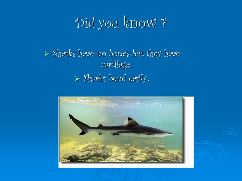 Did you know ? Sharks have no bones but they have cartilage. Sharks have no bones but they have cartilage. Sharks bend easily. Sharks bend easily.