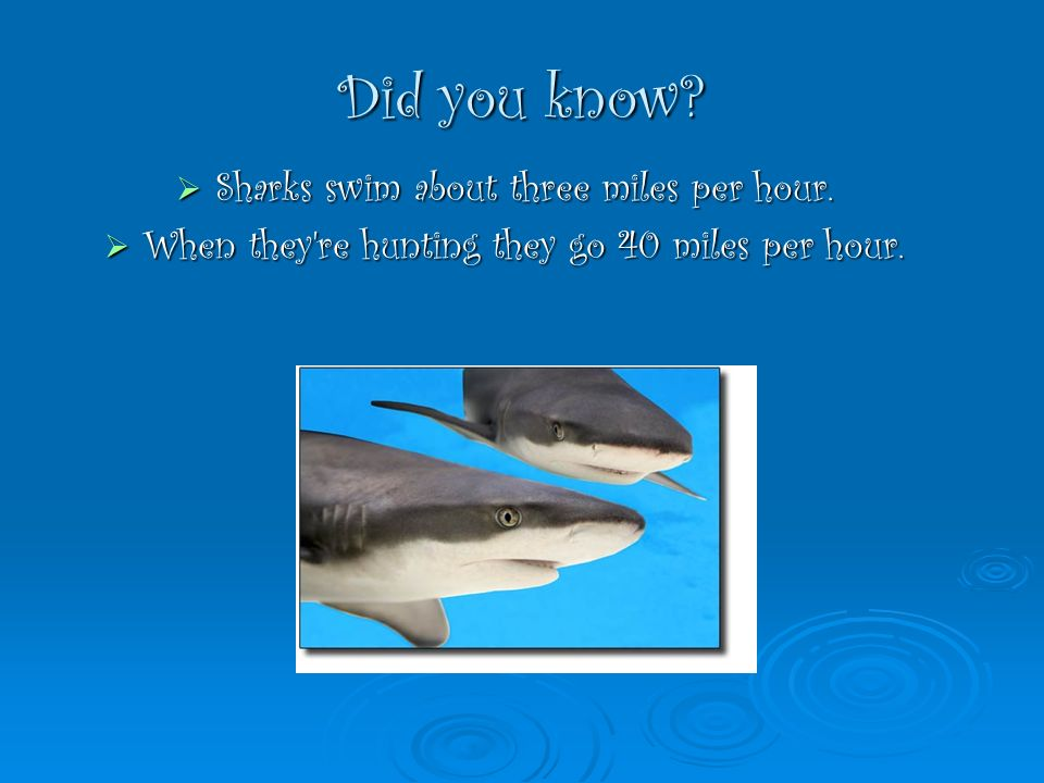 Did you know? Sharks swim about three miles per hour. Sharks swim about three miles per hour. When they're hunting they go 40 miles per hour. When the