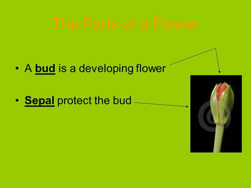 The Parts of a Flower A bud is a developing flower Sepal protect the bud