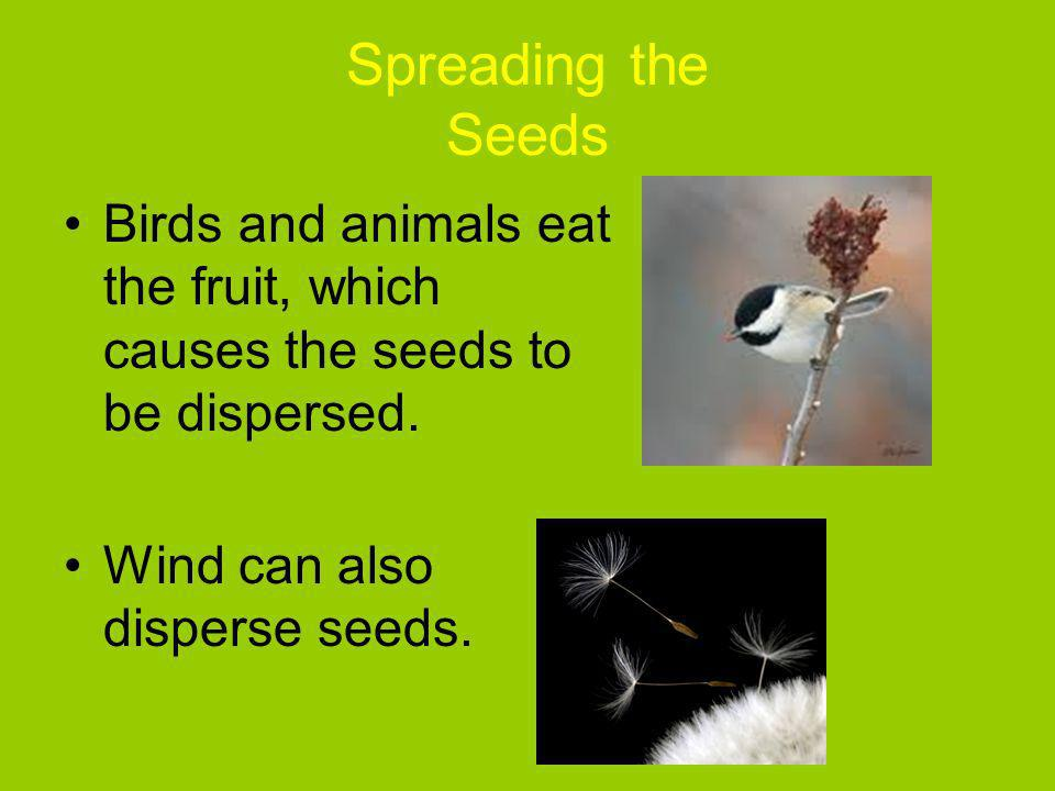 Spreading the Seeds Birds and animals eat the fruit, which causes the seeds to be dispersed. Wind can also disperse seeds.