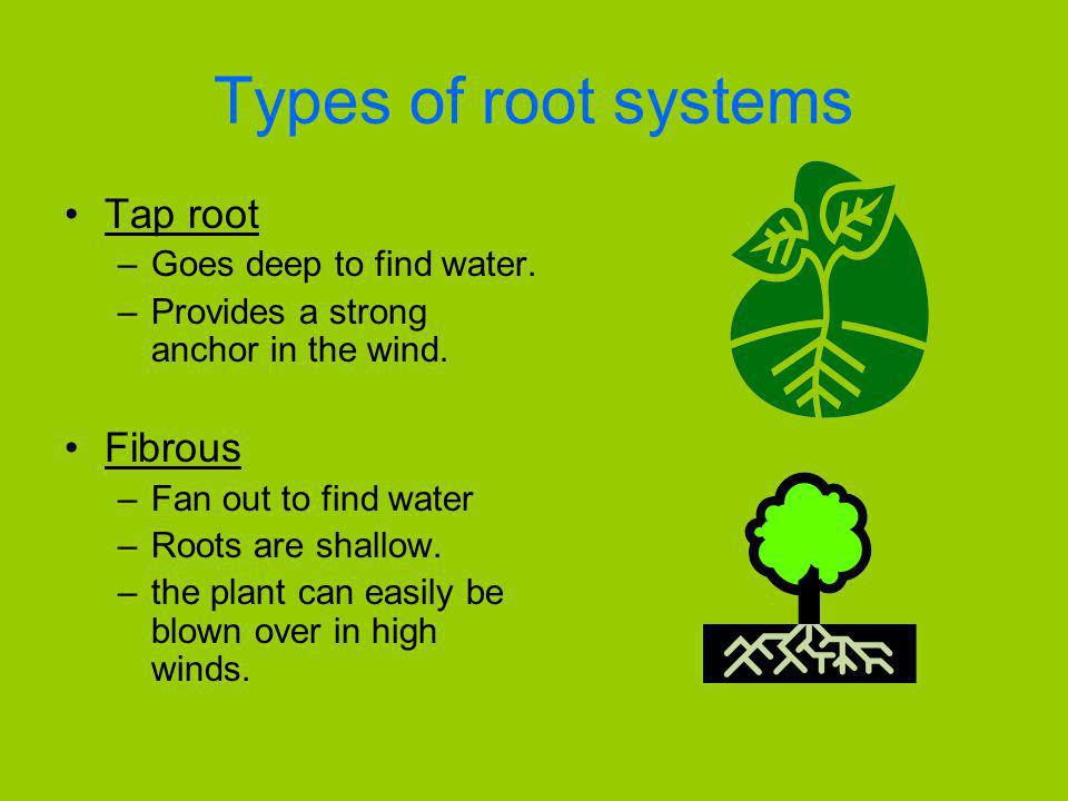 Types of root systems Tap root –Goes deep to find water. –Provides a strong anchor in the wind. Fibrous –Fan out to find water –Roots are shallow. –th