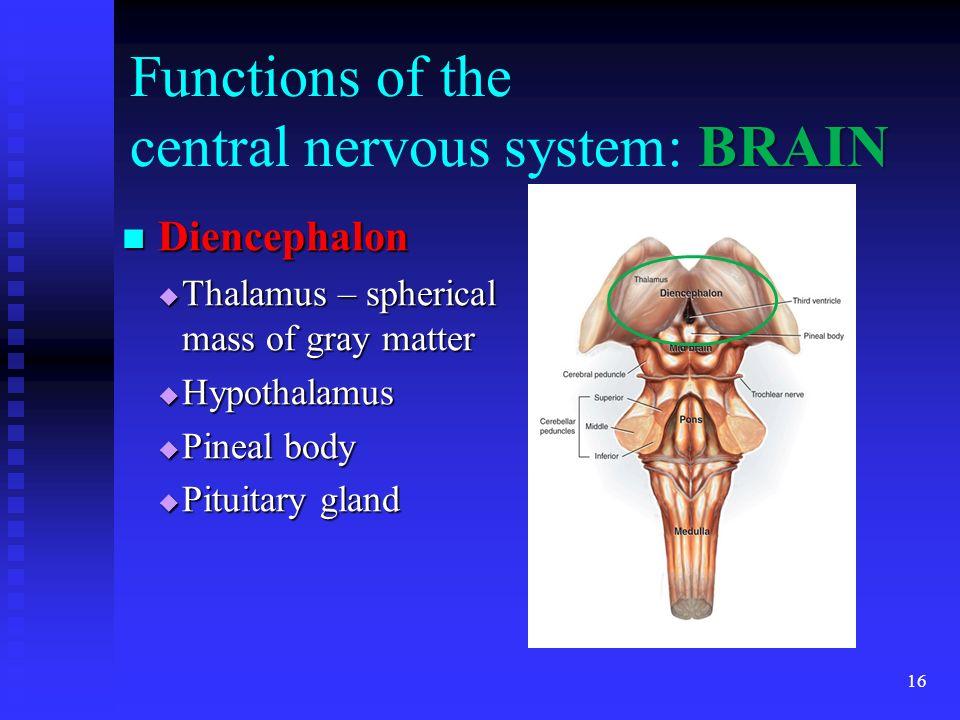 16 BRAIN Functions of the central nervous system: BRAIN Diencephalon Diencephalon Thalamus – spherical mass of gray matter Thalamus – spherical mass o