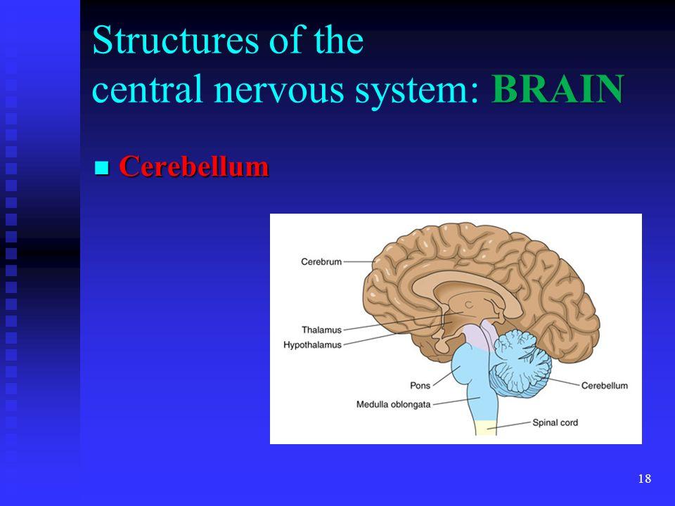 18 BRAIN Structures of the central nervous system: BRAIN Cerebellum Cerebellum