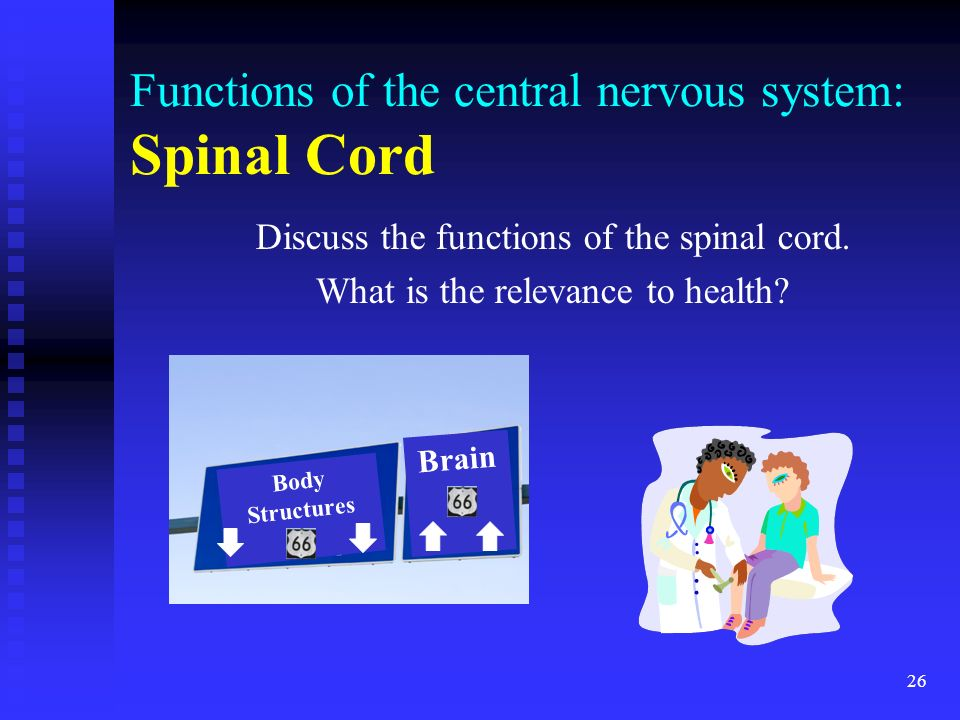 26 Functions of the central nervous system: Spinal Cord Discuss the functions of the spinal cord. What is the relevance to health? Brain Body Structur
