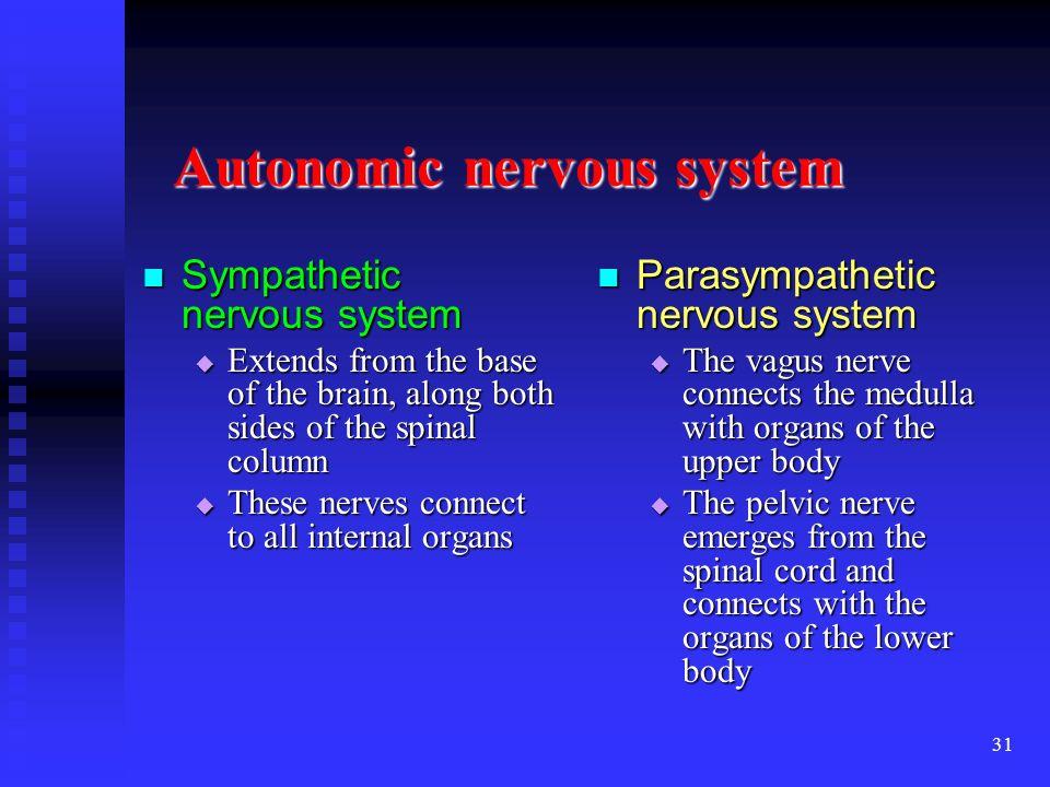 31 Autonomic nervous system Sympathetic nervous system Sympathetic nervous system Extends from the base of the brain, along both sides of the spinal c