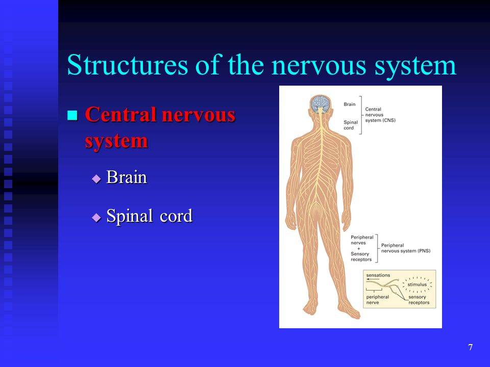 7 Structures of the nervous system Central nervous system Central nervous system Brain Brain Spinal cord Spinal cord
