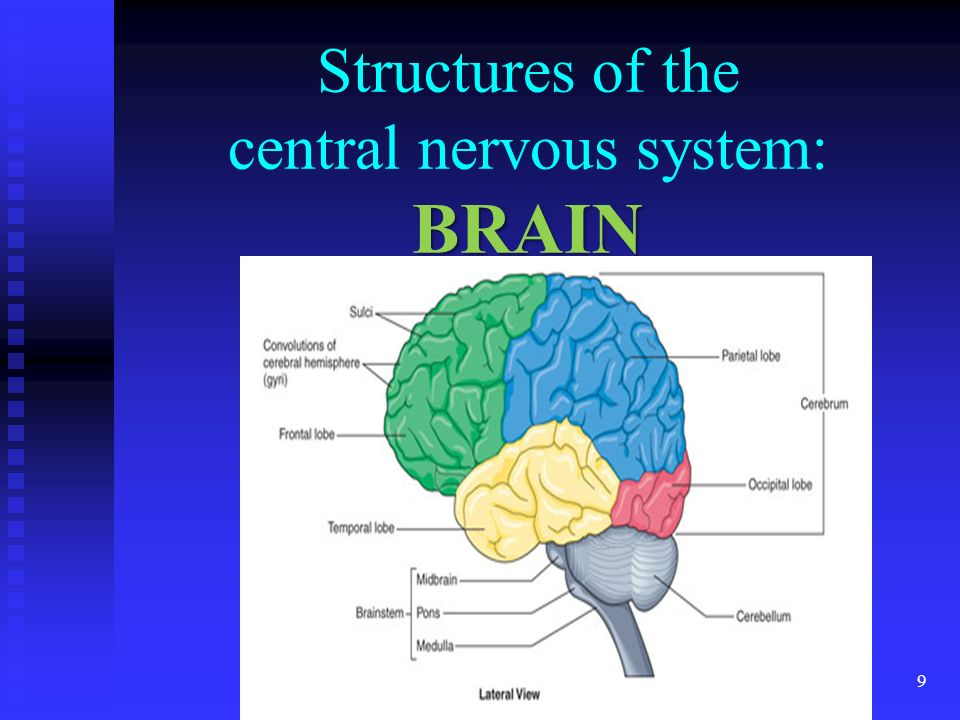 3.01 Remember the structures of the nervous system 9 BRAIN Structures of the central nervous system: BRAIN