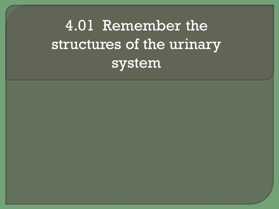Structures of the urinary system Renal pelvis Funnel shaped structure at the beginning of the ureter 4.01 Remember the structures of the urinary system 12