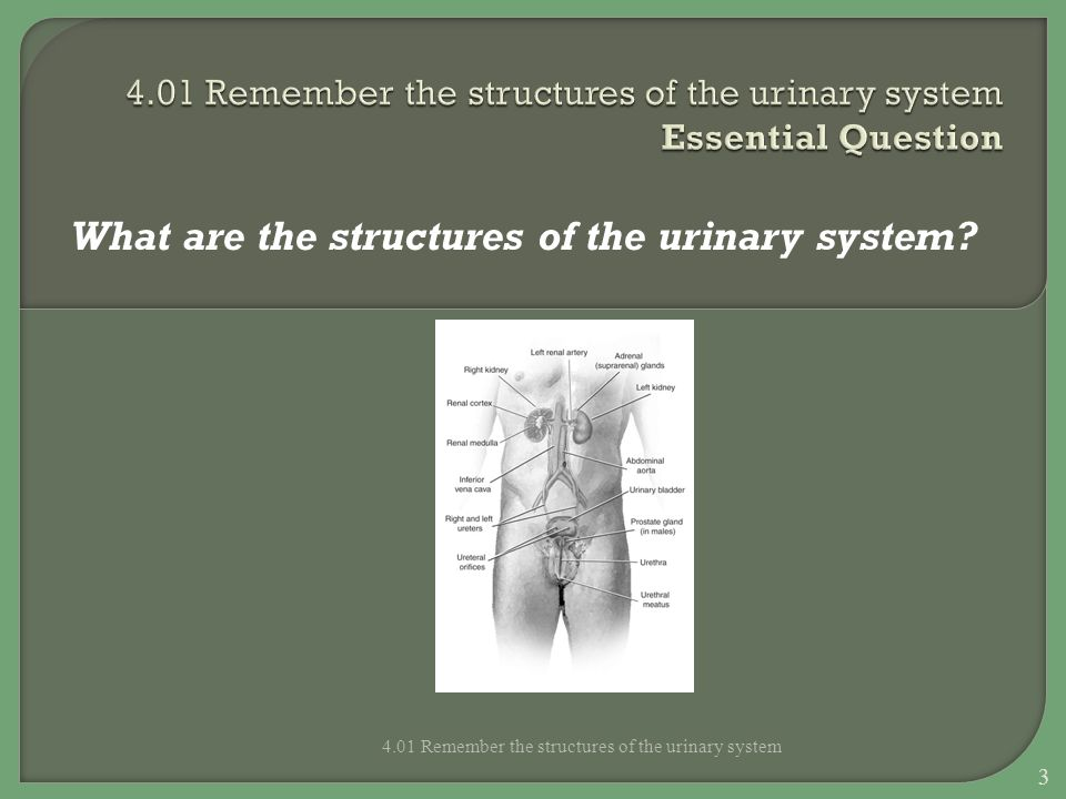 Essential Questions What are the functions of the urinary system.