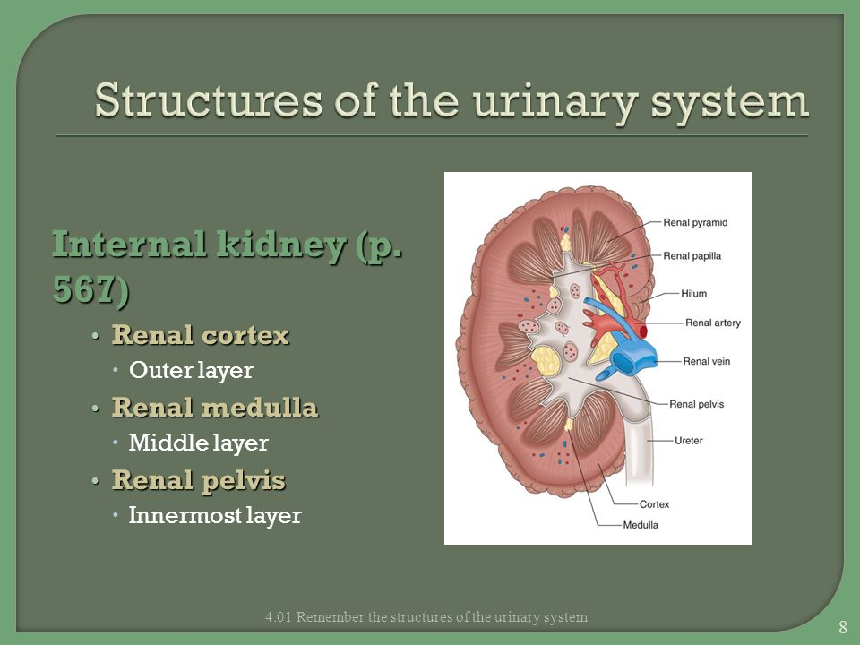 Structures of the urinary system Renal cortex Composed of millions of microscopic functional units called nephrons 4.01 Remember the structures of the urinary system 9