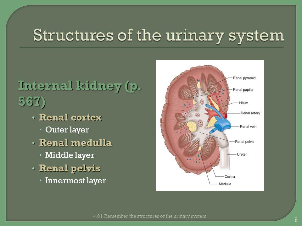 Forming more dilute urine: Define dilute urine What are diuretics.