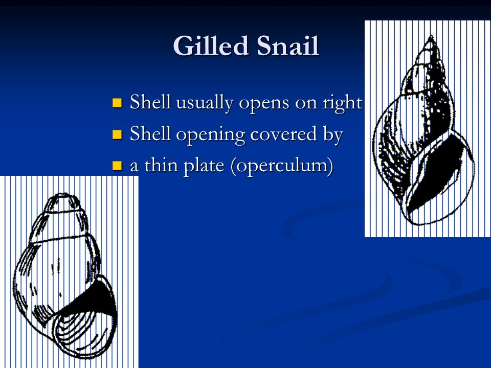 Gilled Snail Shell usually opens on right Shell usually opens on right Shell opening covered by Shell opening covered by a thin plate (operculum) a th