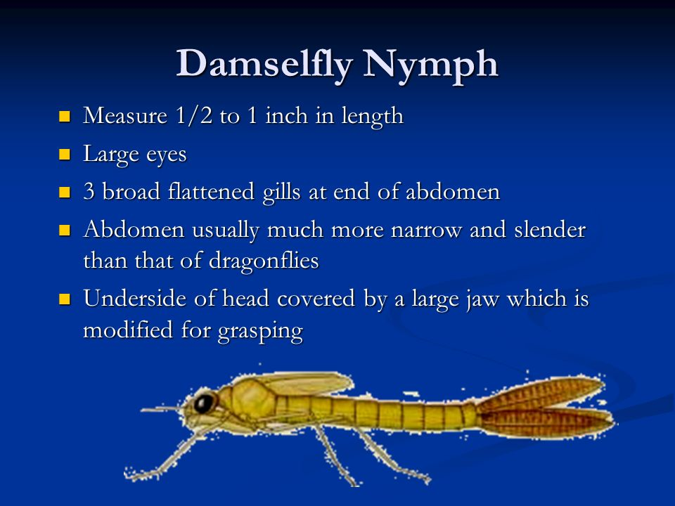 Damselfly Nymph Measure 1/2 to 1 inch in length Measure 1/2 to 1 inch in length Large eyes Large eyes 3 broad flattened gills at end of abdomen 3 broa