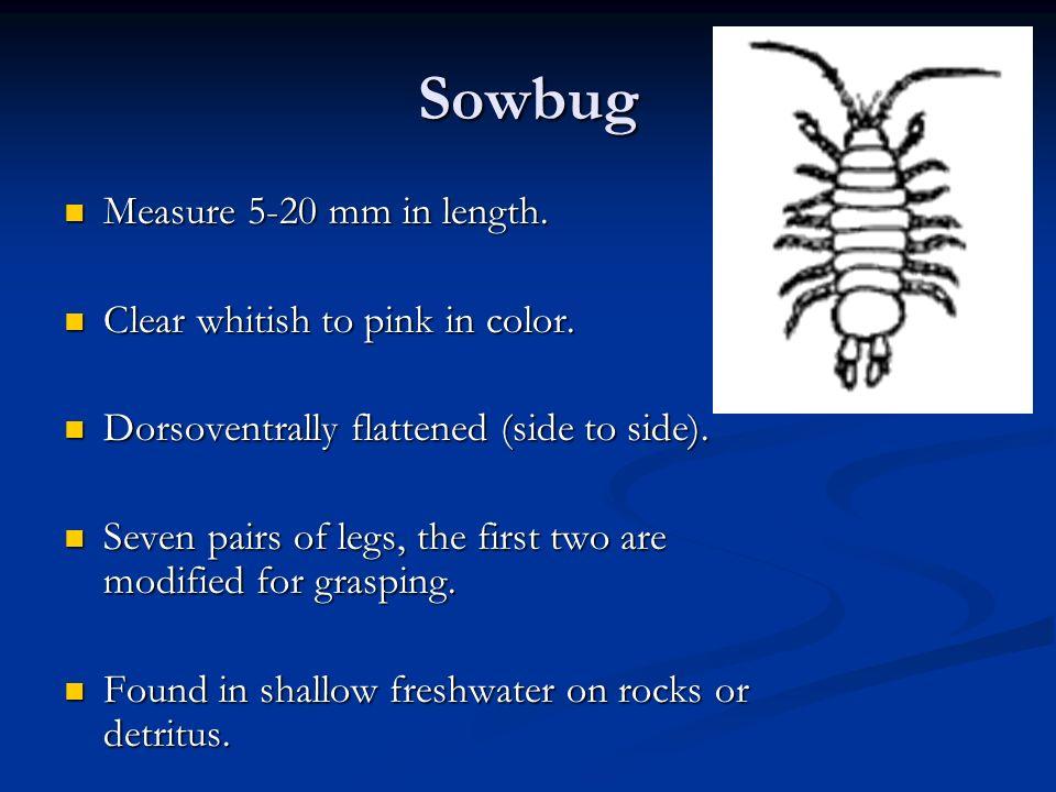 Sowbug Measure 5-20 mm in length.Measure 5-20 mm in length.