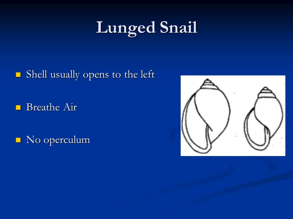 Lunged Snail Shell usually opens to the left Shell usually opens to the left Breathe Air Breathe Air No operculum No operculum