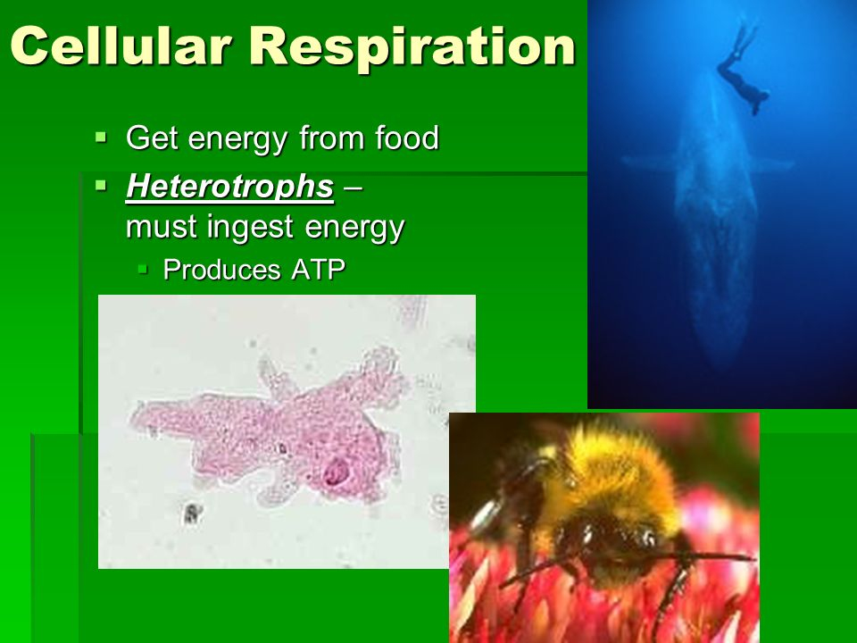 Cellular Respiration Get energy from food Get energy from food Heterotrophs – must ingest energy Heterotrophs – must ingest energy Produces ATP Produc