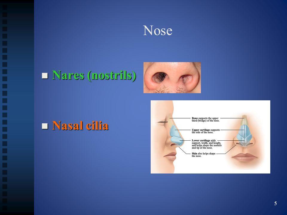 Nose Nares (nostrils) Nares (nostrils) Nasal cilia Nasal cilia 5