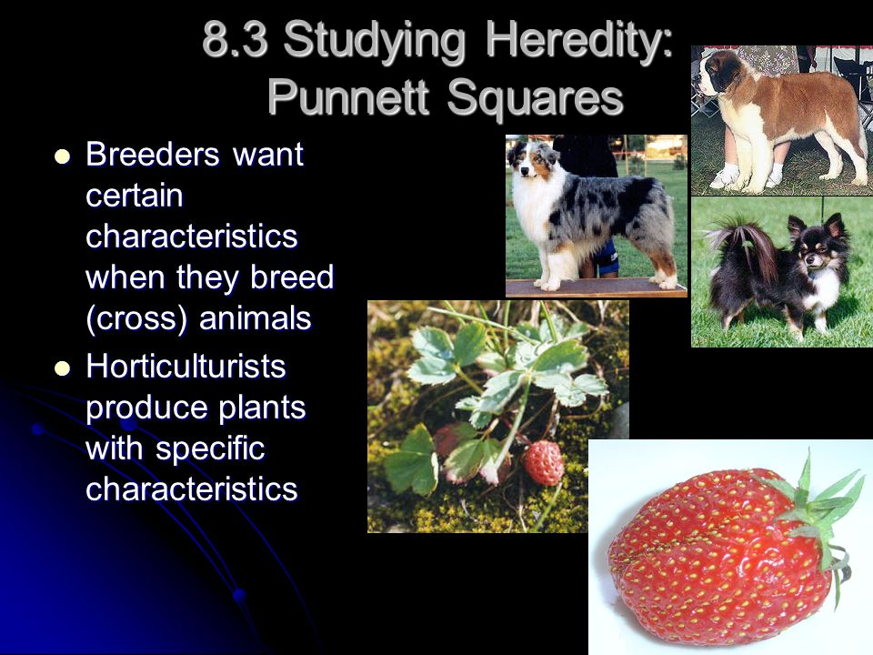 8.3 Studying Heredity: Punnett Squares Breeders want certain characteristics when they breed (cross) animals Breeders want certain characteristics whe