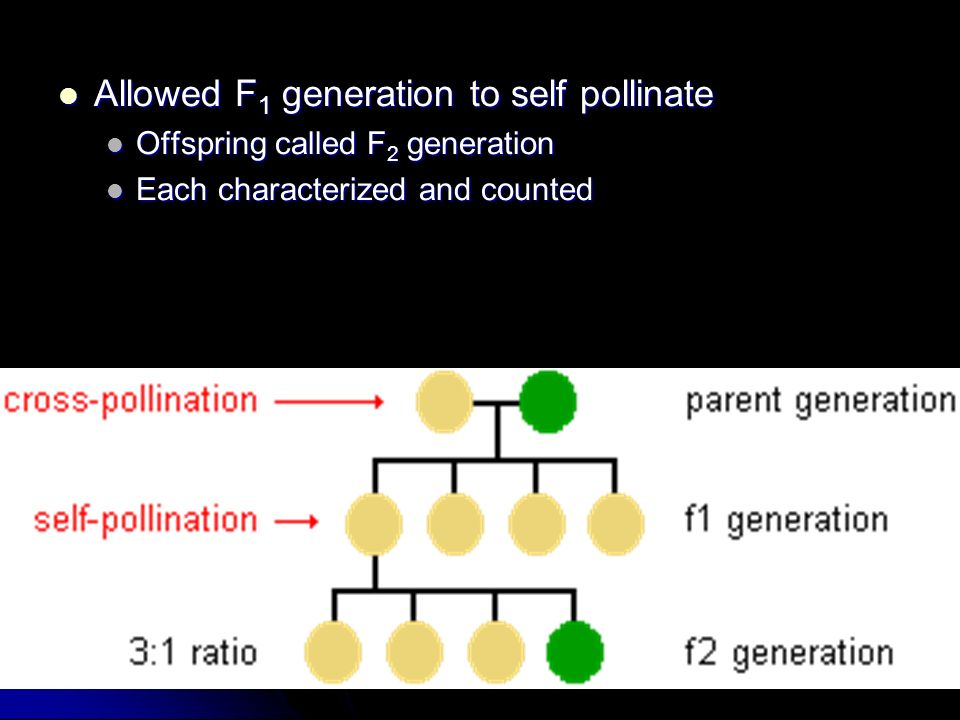 Allowed F 1 generation to self pollinate Allowed F 1 generation to self pollinate Offspring called F 2 generation Offspring called F 2 generation Each