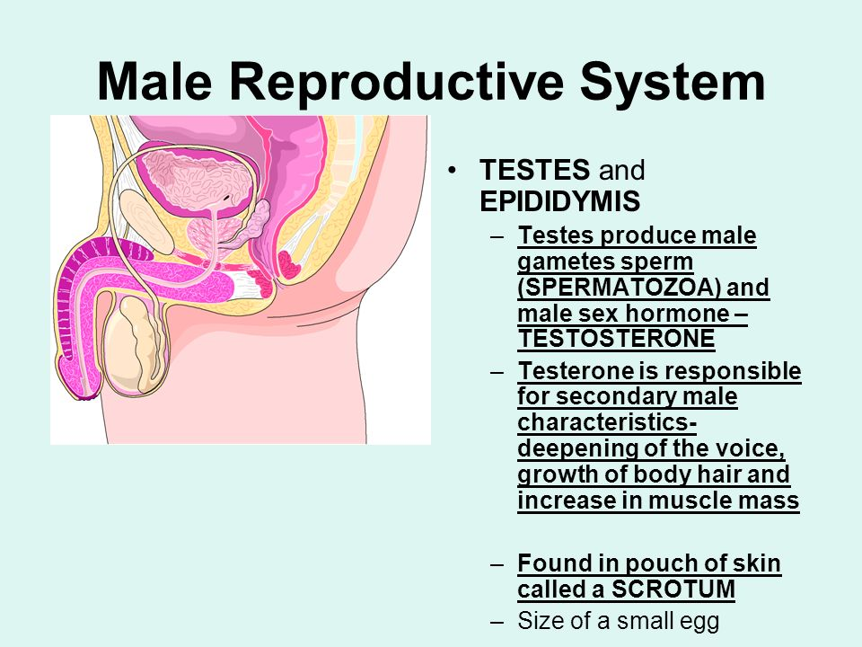 Male Reproductive System TESTES and EPIDIDYMIS –Testes produce male gametes sperm (SPERMATOZOA) and male sex hormone – TESTOSTERONE –Testerone is resp