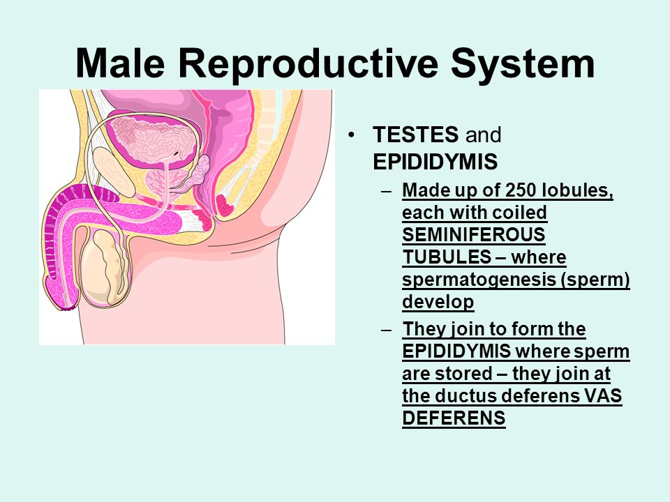 Male Reproductive System TESTES and EPIDIDYMIS –Made up of 250 lobules, each with coiled SEMINIFEROUS TUBULES – where spermatogenesis (sperm) develop