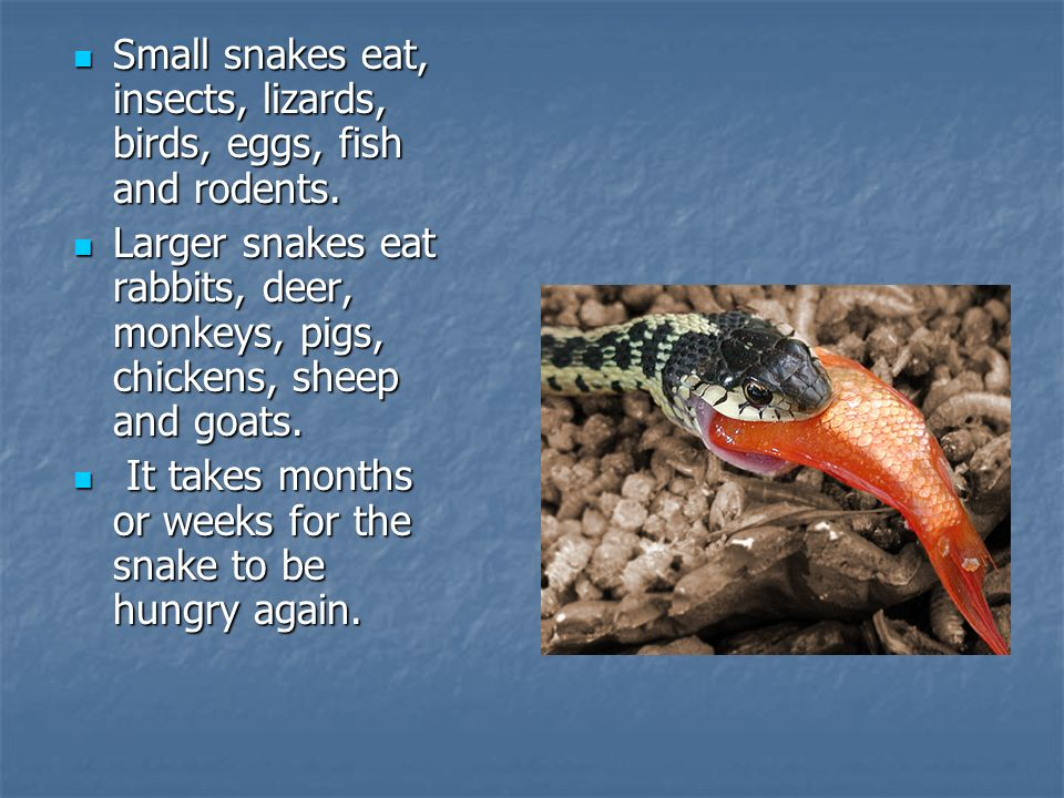 Small snakes eat, insects, lizards, birds, eggs, fish and rodents.