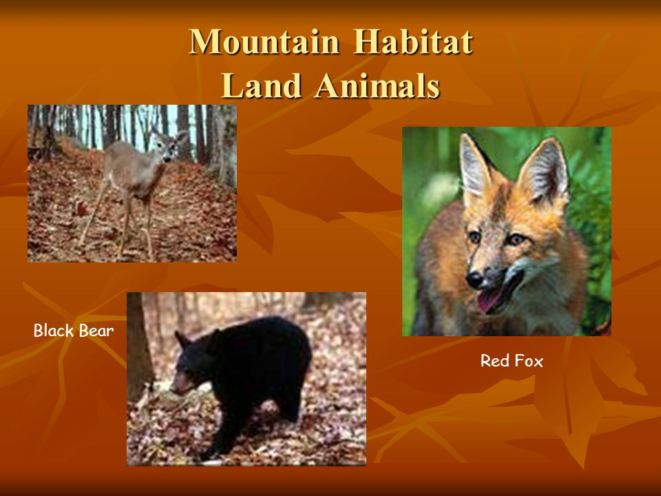Mountain Habitat Land Animals Black Bear Red Fox