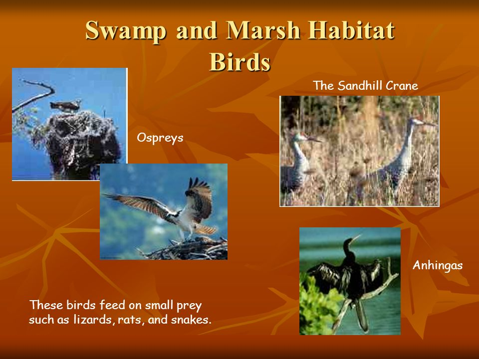 Swamp and Marsh Habitat Birds The Sandhill Crane Ospreys Anhingas These birds feed on small prey such as lizards, rats, and snakes.