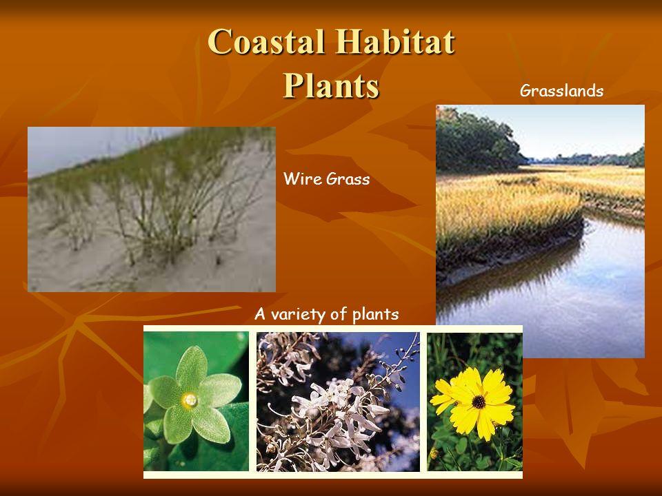 Coastal Habitat Plants Wire Grass Grasslands A variety of plants