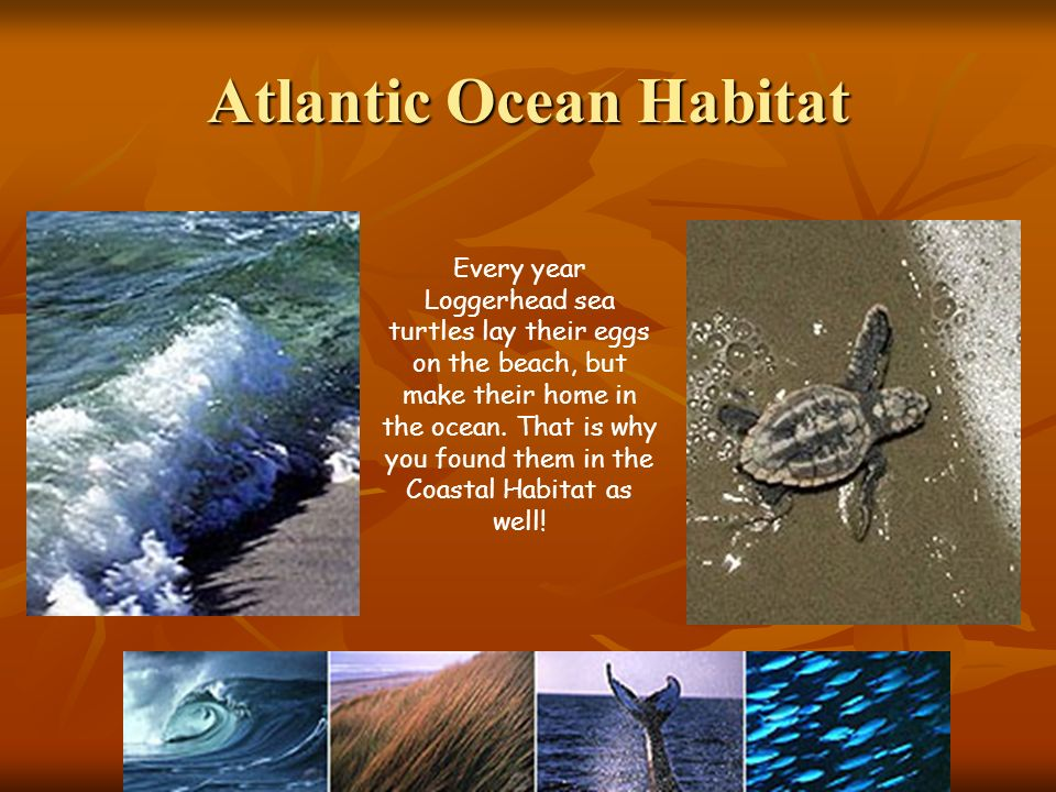 Atlantic Ocean Habitat Every year Loggerhead sea turtles lay their eggs on the beach, but make their home in the ocean. That is why you found them in