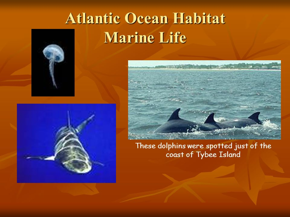 Atlantic Ocean Habitat Marine Life These dolphins were spotted just of the coast of Tybee Island