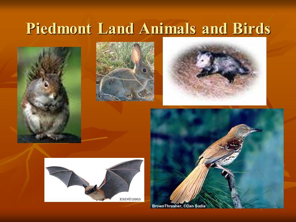 Piedmont Land Animals and Birds